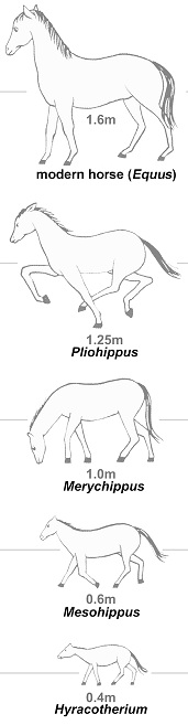 A series of images show how the horse evolved over 50 million years